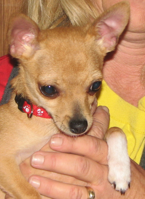 Biscuit rinks chihuahuas